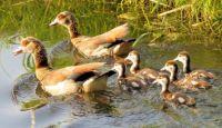 Egyptian geese family (nijlgansfamilie)