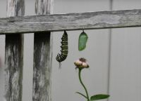 Monarch making its chrysalis_