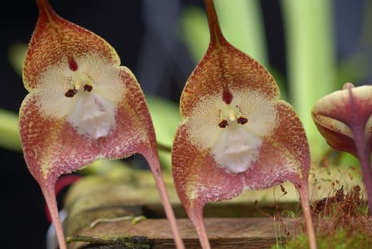 'Monkey Orchids' of Ecuador & Peru..!!