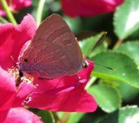 Cornelian Butterfly on red mini rose..