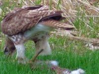 Hawk eating a rabbit