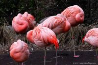 Napping Flamingos