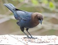 Unwelcome arrival: Cowbird male