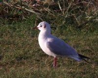Mediterranean gull in winter plumage