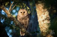 Barred Owl Poetry Texas