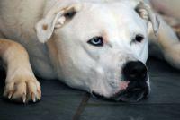 Weiss Hund