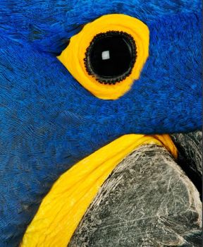 Eye of a Hyacinth Macaw..Sth America.