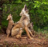 The family that howls together ...