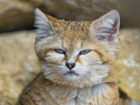 sand-cat-serious-look