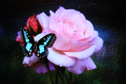 BEAUTIFUL ROSE, BEAUTIFUL BUTTERFLY...