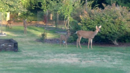 My deer friends stopping by for a snack...