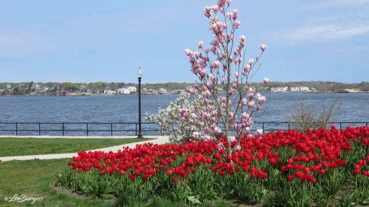 Gloucester Tulip Garden_6839