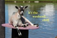 Goats know how to relax