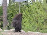 Porcupine wondering how to get around the critter baffle