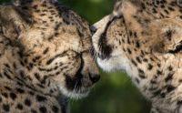 Gepárd puszi