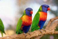 2  ~  Rainbow Lorikeet. (Trichoglossus moluccanus)