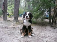 Bernese puppy Sadie