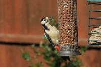 Grtr Spotted Woodpecker