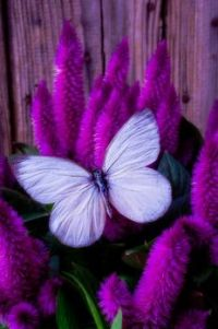 White Butterfly on Flowering Celosia