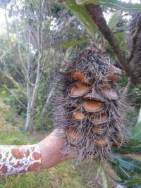 Mr Banksia Man