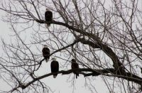 Convocation of Bald Eagles