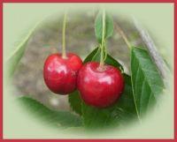 Kersen rechtover ons deur.  Cherries right in front of our door.