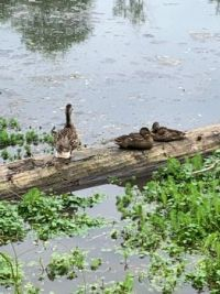 Momma Duck and her offspring