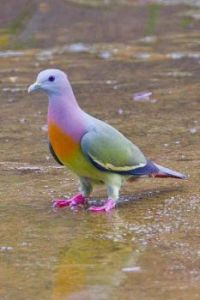 Rare Pink necked green pigeon