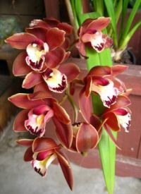 "Cymbidium ""Volcanic Flash Thunder Ball"""