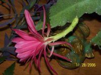 orchid cactus 4
