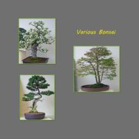 Various-Bonsai