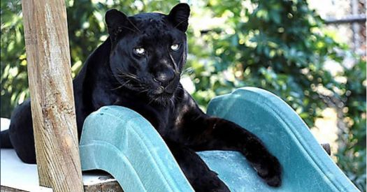 Panther posing, on slide for GQ!!!!