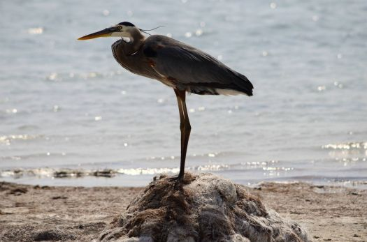 Great Blue Heron @ Laguna Madre, Texas