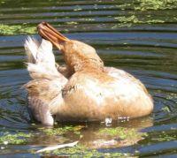 female mallard, biting her tail :)