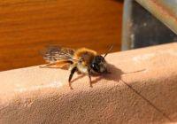 Grey-gastered Mining Bee (grijze rimpelrug)