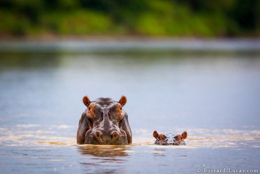 Hippo family outing