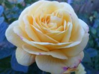 SUMMER'S ROSE