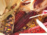 Wonderfully colorful Indian Corn