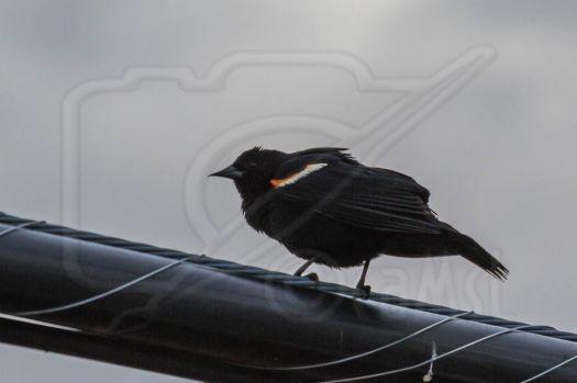 Bird Book:  Male Red-Winged Blackbird