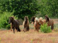IJslandse pony's