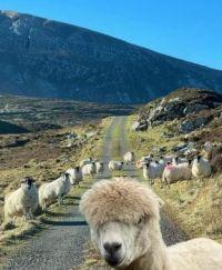 ..irsh sheep