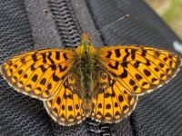 Resting butterfly II