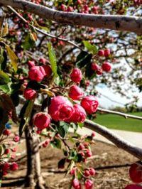 2021 05 08 Prairie Rose Crabapple blossums