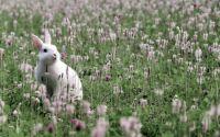 white rabbit, red clover