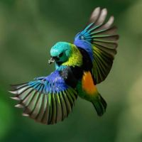 4  ~  Green headed tanager.