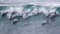 Dolphins in a wave