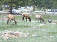female elk herd in Rocky Mt. National Park