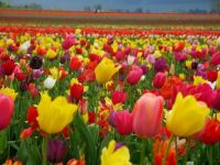 Totally Tulips!