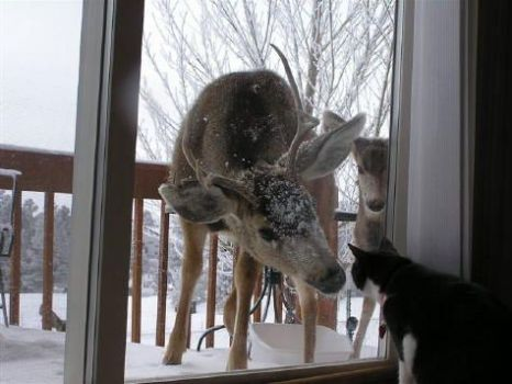 deer at back door with cat