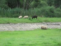 Sheep in a fish storage pond